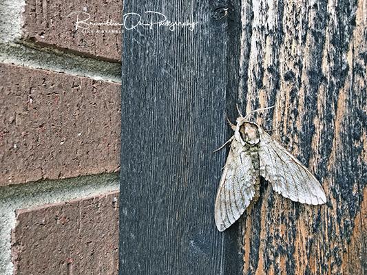 Brown Moth print for sale.