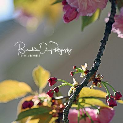 Flowering Plum print for sale.