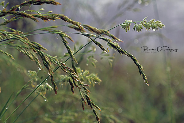 Foggy Grass print for sale.