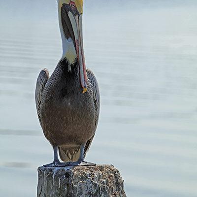 Pelican print for sale.