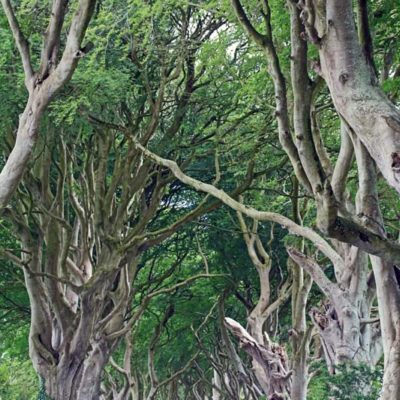 The Dark Hedges print for sale.