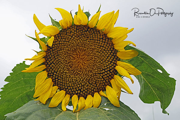 Good Hope, Ga sunflower print for sale.