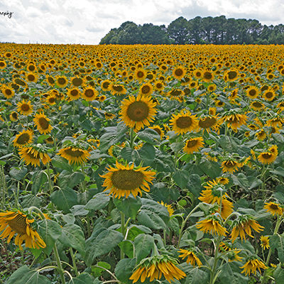 Field of Sunflowers print for sale.
