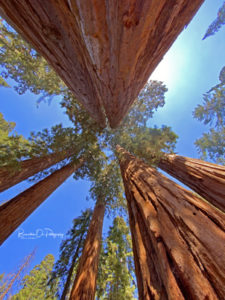 The Mighty Redwoods